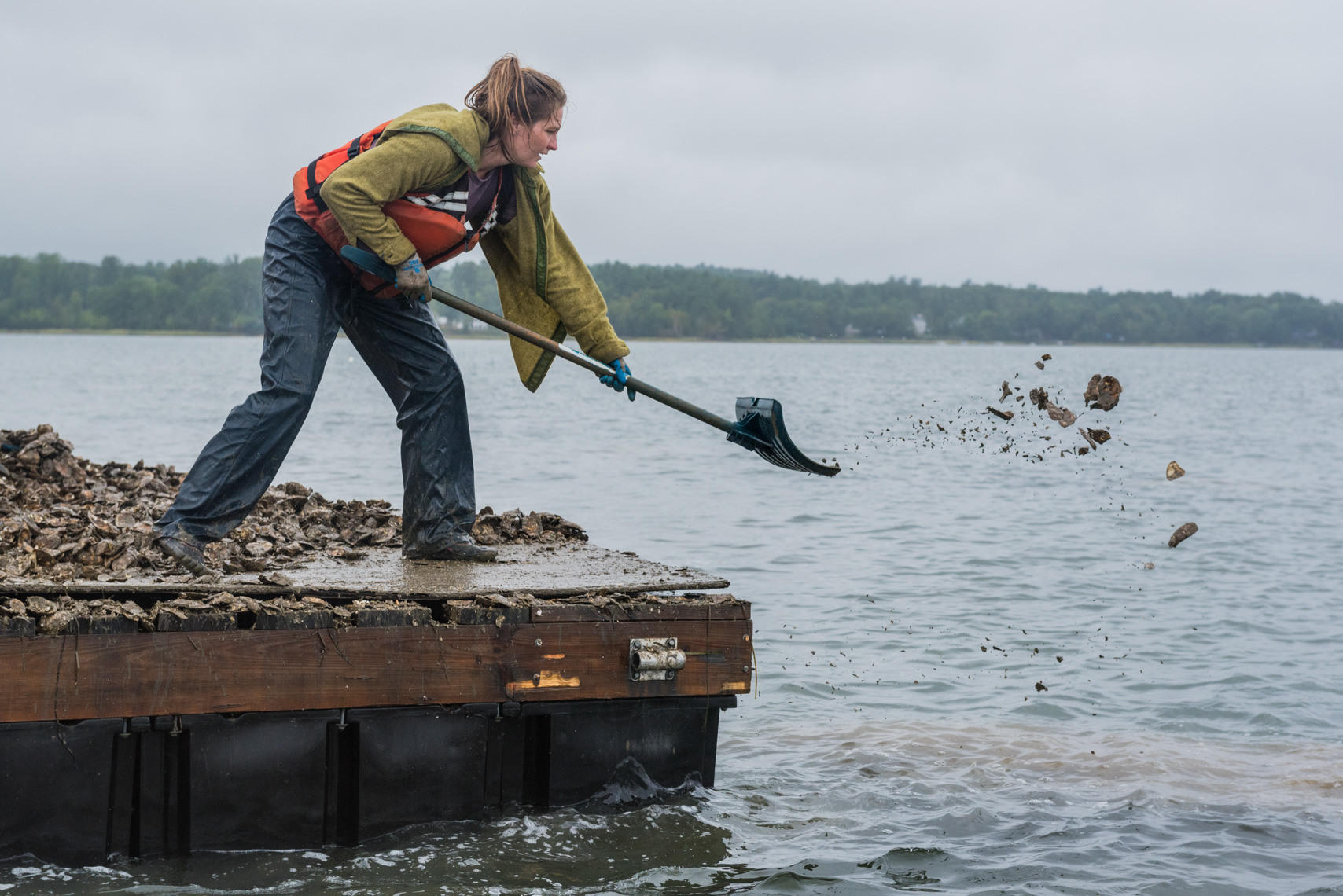 Spreading young oysters onto new reefs