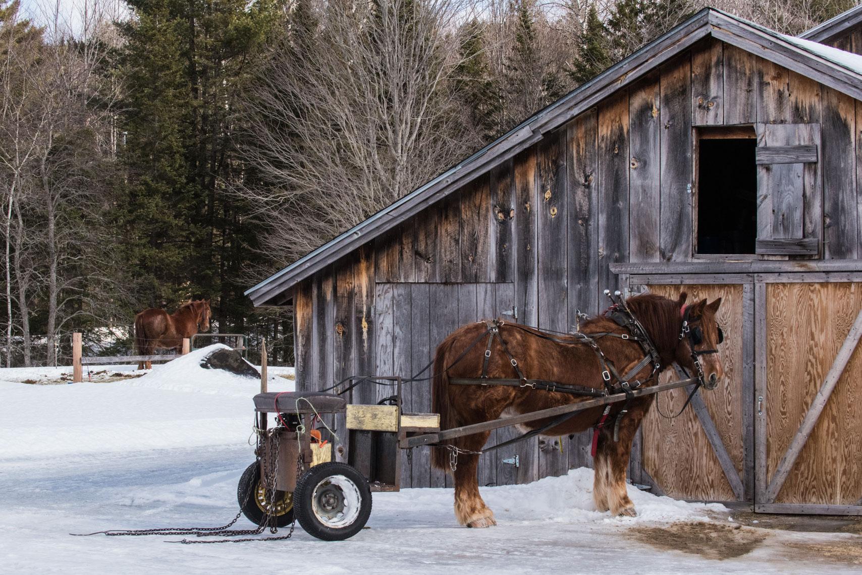 Horse logging in Milan, New Hampshire